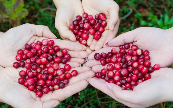 cranberry geplukt