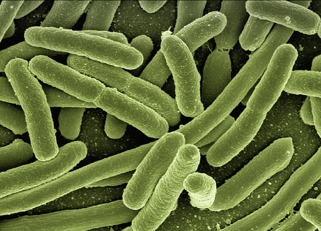 Escherichia koli bacteria en blaasontsteking